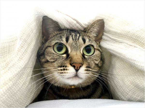 日本の猫ルーツ