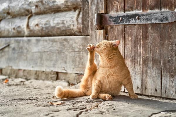 毛づくろい猫